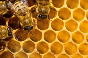 bees_macro