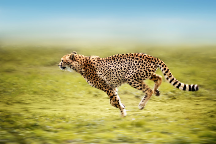 The cheetah is mostly tack sharp, yet its legs portrays motion.