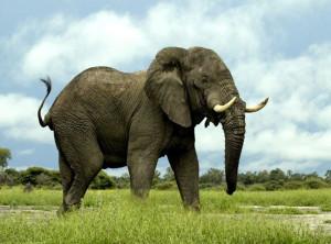 elephant-standing-still